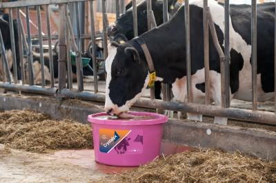 Können Kühe Schwitzen